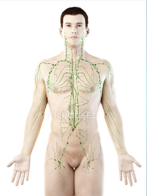 Anatomical male model showing lymphatic system, digital illustration. — Stock Photo
