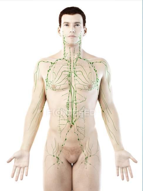 Modèle masculin anatomique montrant le système lymphatique, illustration numérique . — Photo de stock