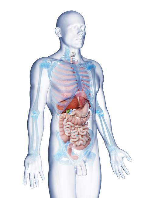 Transparent body model showing male anatomy and internal organs, digital illustration. — Stock Photo