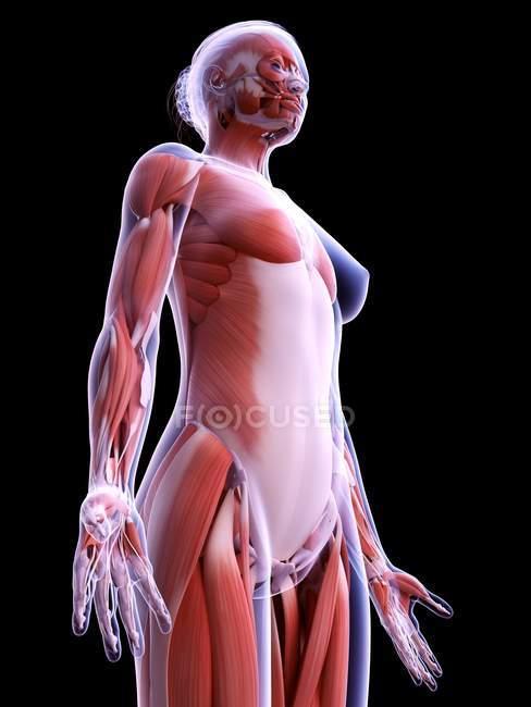 Estructura realista de la musculatura femenina, ilustración por ordenador . - foto de stock