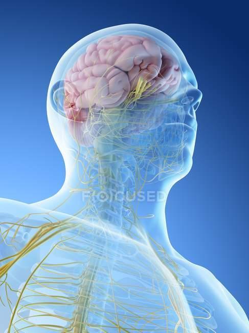Sistema nervioso de cabeza y cuello masculinos, ilustración por ordenador . - foto de stock