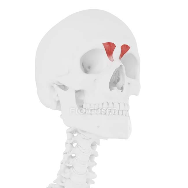 Menschlicher Schädel mit detailliertem roten Depressor-Supercili-Muskel, digitale Illustration. — Stockfoto