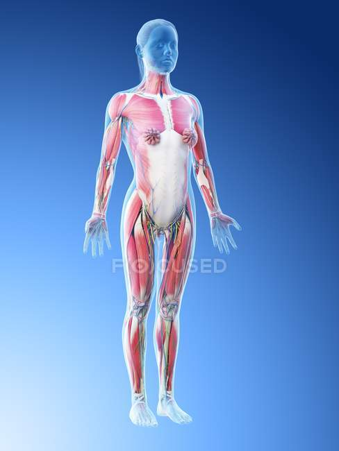 Modèle du corps humain montrant l'anatomie féminine avec le système musculaire, illustration numérique de rendu 3D . — Photo de stock