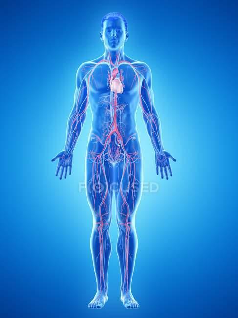 Cuerpo masculino con sistema vascular visible, ilustración por ordenador . - foto de stock
