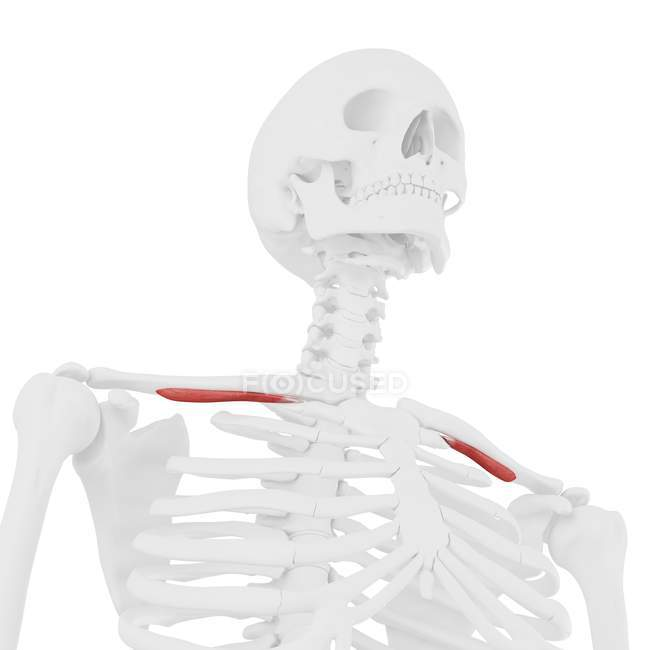 Esqueleto humano con músculo subclavio de color rojo, ilustración digital . - foto de stock