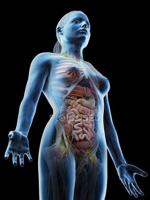 Anatomia da parte superior do corpo feminino e órgãos internos, ilustração computacional . — Fotografia de Stock