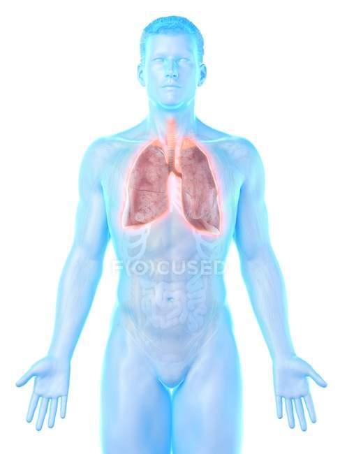 Pulmões em anatomia do corpo masculino, ilustração computacional . — Fotografia de Stock
