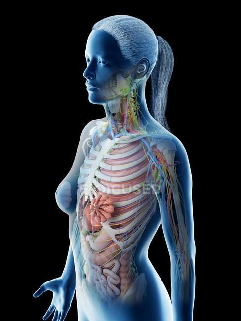 Anatomia della parte superiore del corpo femminile e organi interni, illustrazione al computer . — Foto stock