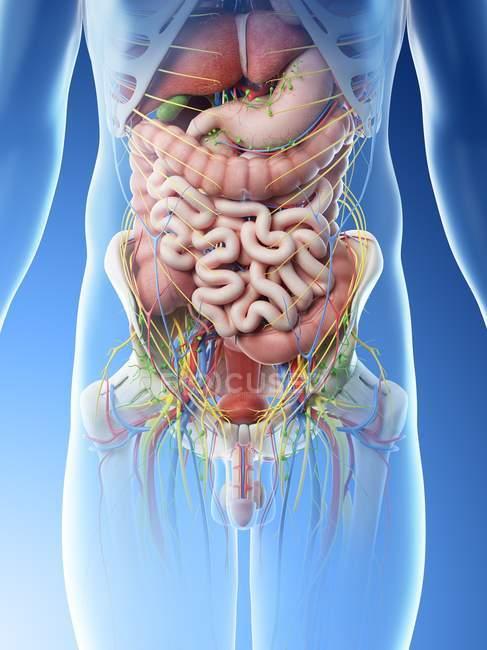 Мужские брюшные органы, живот, цифровая иллюстрация . — стоковое фото