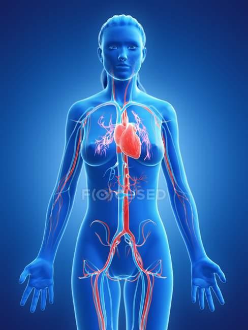 Видиме серце в силуеті жіночого тіла, комп