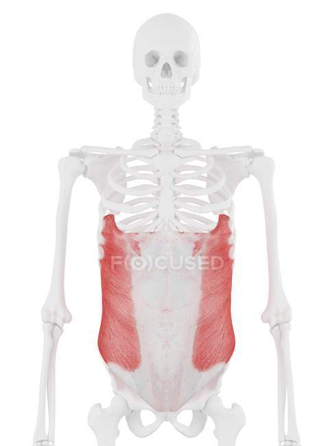 Human skeleton with detailed red External oblique muscle, digital illustration. — Stock Photo