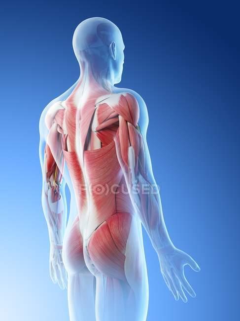 Cuerpo masculino con músculos de la espalda, ilustración por ordenador . - foto de stock