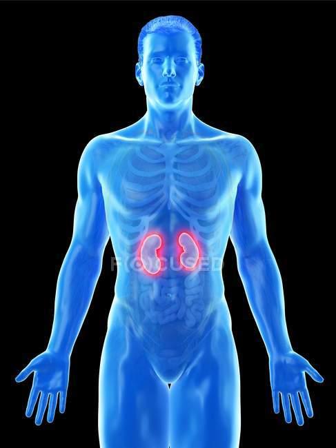 Anatomía masculina con riñones coloreados visibles, ilustración por computadora . - foto de stock