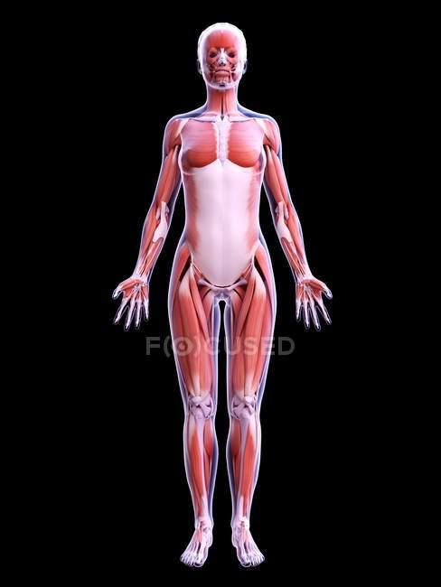 Realistische Struktur der weiblichen Muskulatur, Computerillustration. — Stockfoto