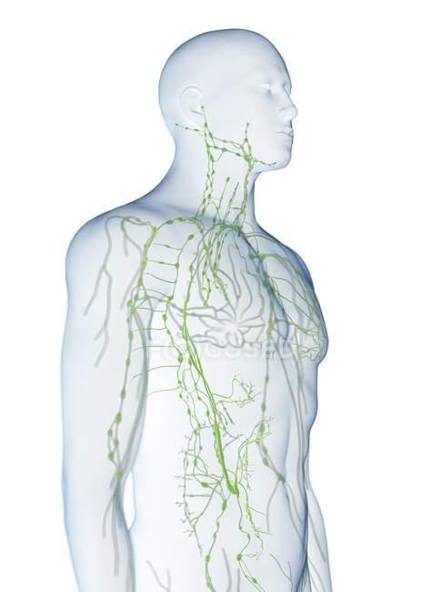Cuerpo masculino abstracto con sistema linfático visible, ilustración digital . - foto de stock