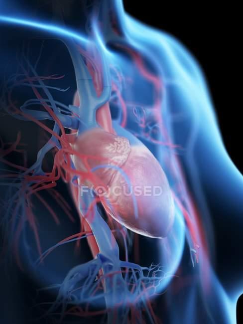 Coeur féminin et système vasculaire, illustration numérique . — Photo de stock