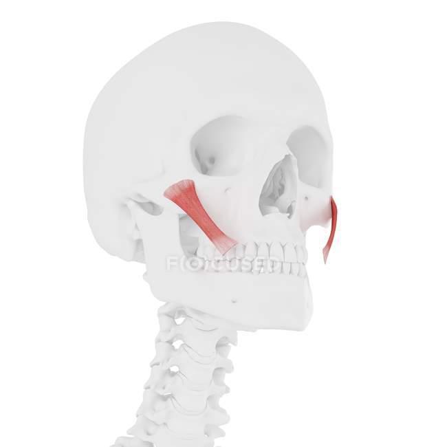 Modelo de esqueleto humano con detallado músculo mayor de Zygomaticus, ilustración por computadora . - foto de stock