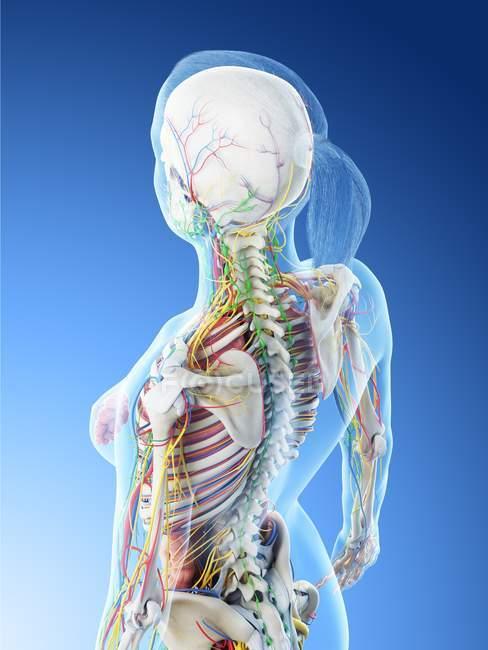 Modelo del cuerpo humano que muestra la anatomía femenina y el sistema nervioso, ilustración digital del render 3d . - foto de stock