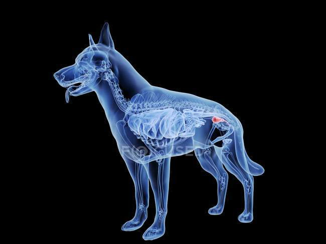 Dog silhouette with red colored bladder on black background, digital illustration. — Stock Photo