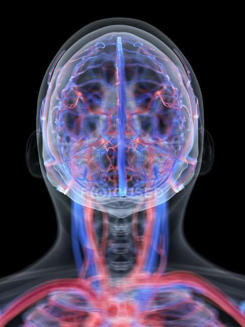 Sistema vascular de la cabeza humana, ilustración por ordenador . - foto de stock