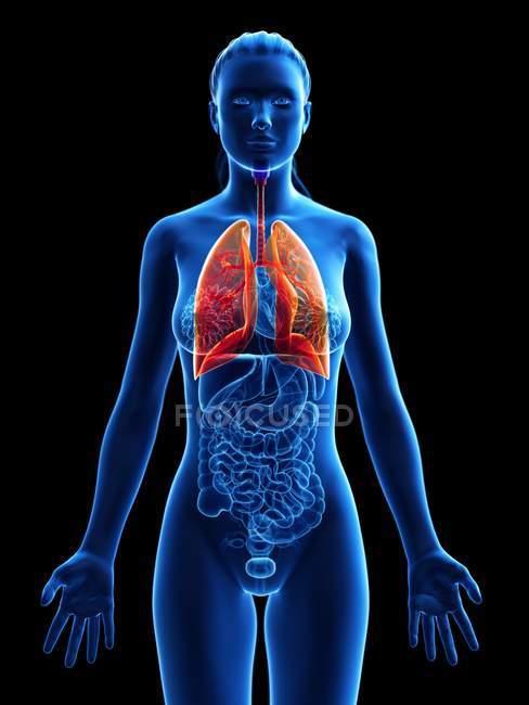 Жіноча анатомічна модель з кольоровими і видимими легенями, комп'ютерна ілюстрація. — стокове фото