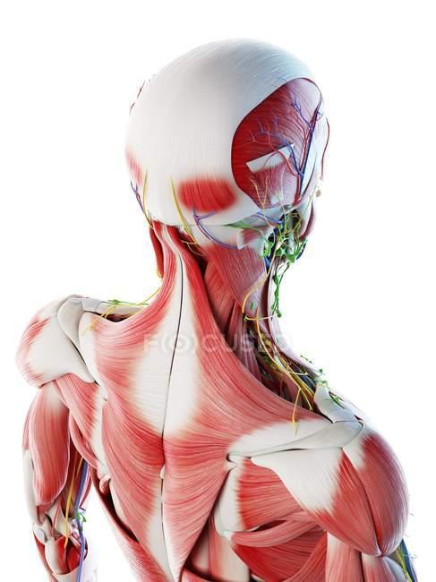 Espalda masculina, músculos del cuello y la cabeza, ilustración por computadora . - foto de stock