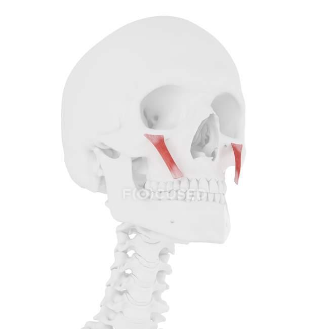 Modelo de esqueleto humano con detallado músculo menor de Zygomaticus, ilustración por computadora . - foto de stock