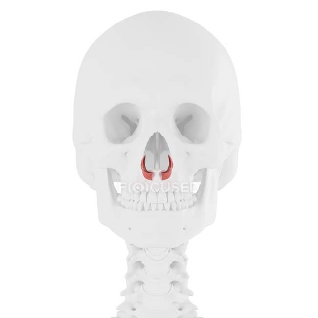 Esqueleto humano con músculo alar Nasalis de color rojo, ilustración digital . - foto de stock