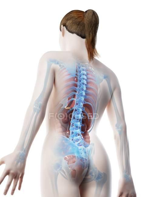 Modelo de cuerpo humano que muestra la anatomía femenina con órganos internos en la vista trasera, ilustración digital de renderizado 3D . - foto de stock