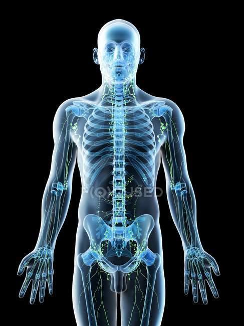 Corpo maschile astratto con scheletro visibile e sistema linfatico, illustrazione al computer . — Foto stock