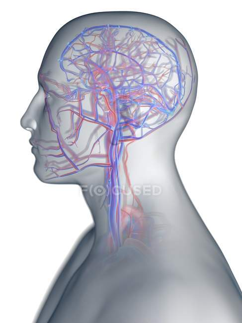 Sistema vascolare della testa umana, illustrazione del computer . — Foto stock