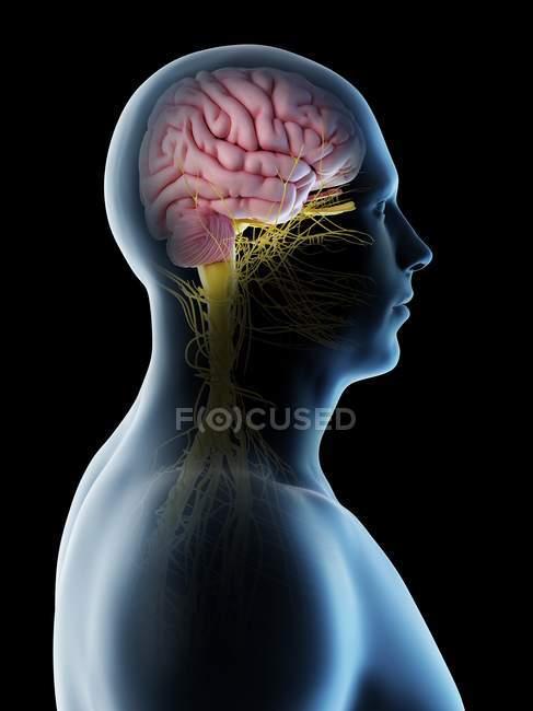 Cuerpo masculino con cerebro visible en vista lateral, ilustración digital . - foto de stock
