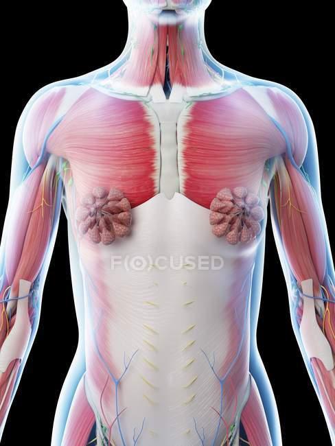 Anatomía y sistema muscular de la parte superior del cuerpo femenino, ilustración por computadora . - foto de stock