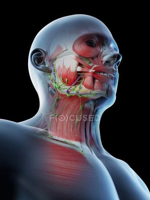 Anatomía y musculatura masculina de cabeza y cuello, ilustración digital . - foto de stock