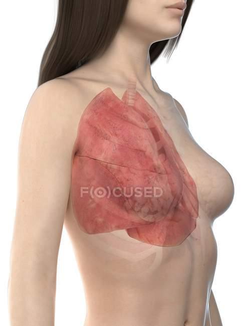 Pulmones visibles en el modelo realista del cuerpo femenino 3d sobre fondo blanco, ilustración de la computadora . - foto de stock
