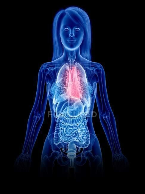 Female anatomy showing heart in transparent body silhouette, computer illustration. — Stock Photo