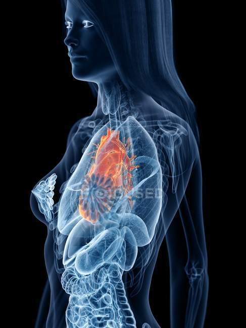 Жіноча анатомія, що показує серце в прозорому силуеті тіла, комп