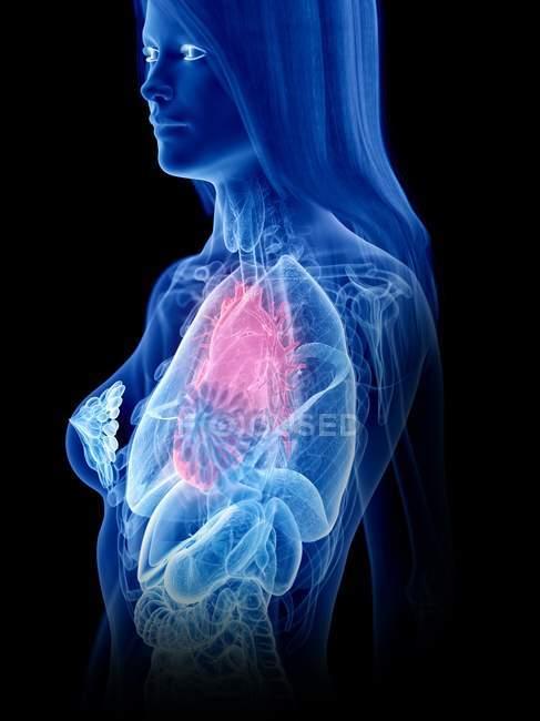 Anatomia femminile che mostra il cuore nella silhouette trasparente del corpo, illustrazione al computer . — Foto stock