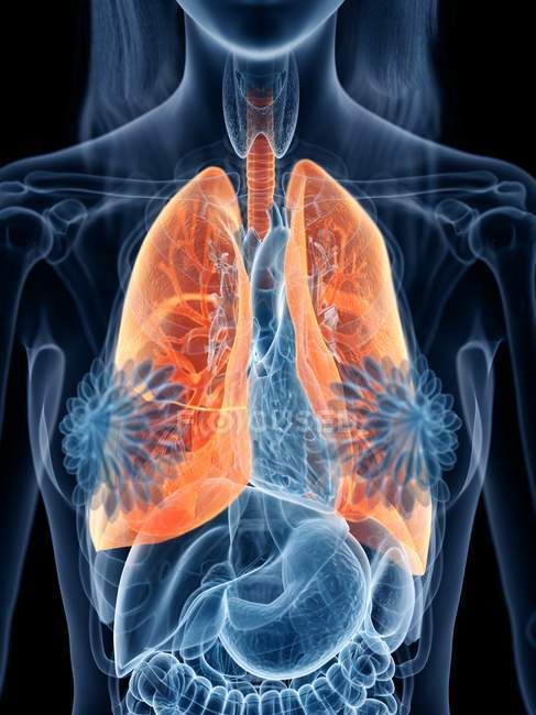 Colored lungs in transparent female body on black background, computer illustration. — Stock Photo