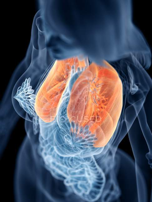 Pulmones de color en el cuerpo femenino transparente sobre fondo negro, ilustración por ordenador . - foto de stock
