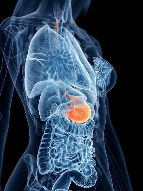 Modèle 3D abstrait du corps féminin démontrant l'estomac dans l'anatomie humaine, illustration numérique . — Photo de stock