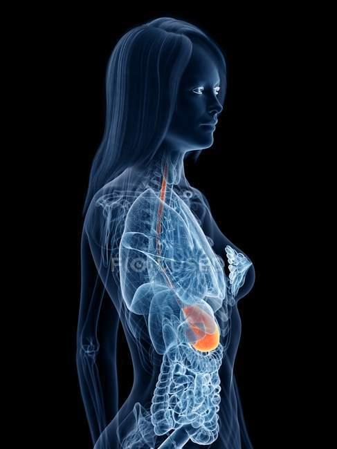 Modelo abstracto del cuerpo femenino 3d que demuestra estómago en anatomía humana, ilustración digital . - foto de stock