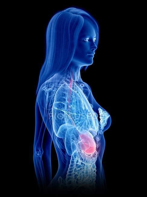 Абстрактная трехмерная модель женского тела, демонстрирующая желудок при анатомии человека, цифровая иллюстрация . — стоковое фото