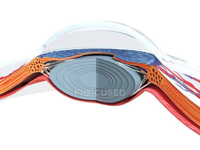 Human eye anatomy, computer illustration. — Stock Photo