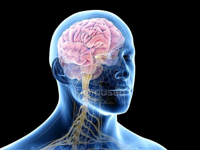 Cerebro humano en el cuerpo masculino, ilustración por computadora . - foto de stock