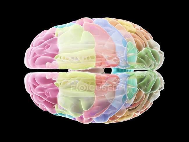 Cerebro humano con partes coloreadas, ilustración por computadora . - foto de stock