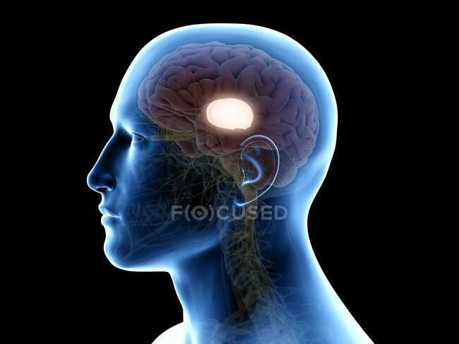 Thalio humano, ilustración informática. - foto de stock