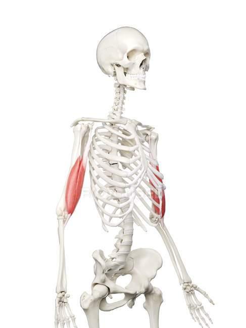 Esqueleto humano con músculo bíceps de color rojo, ilustración por computadora . - foto de stock