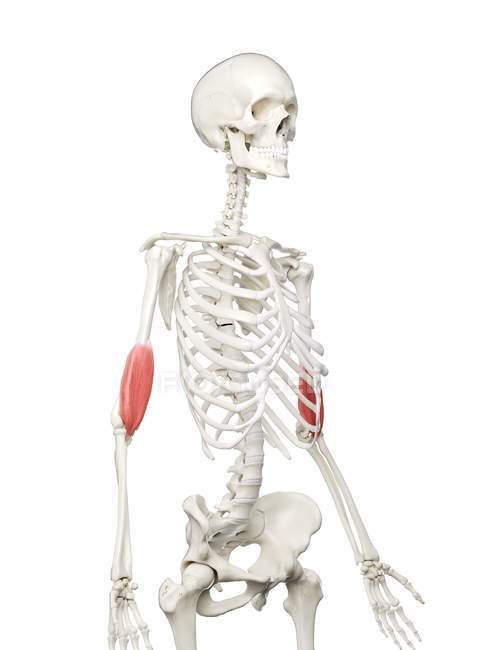 Esqueleto humano con músculo braquial de color rojo, ilustración por computadora . - foto de stock
