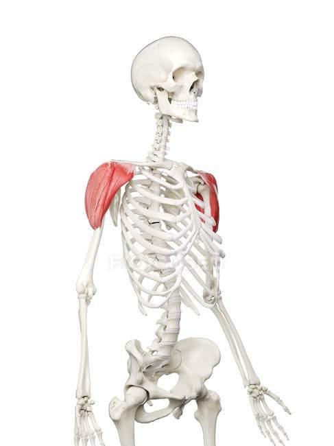 Esqueleto humano con músculo Deltoide de color rojo, ilustración por computadora . - foto de stock